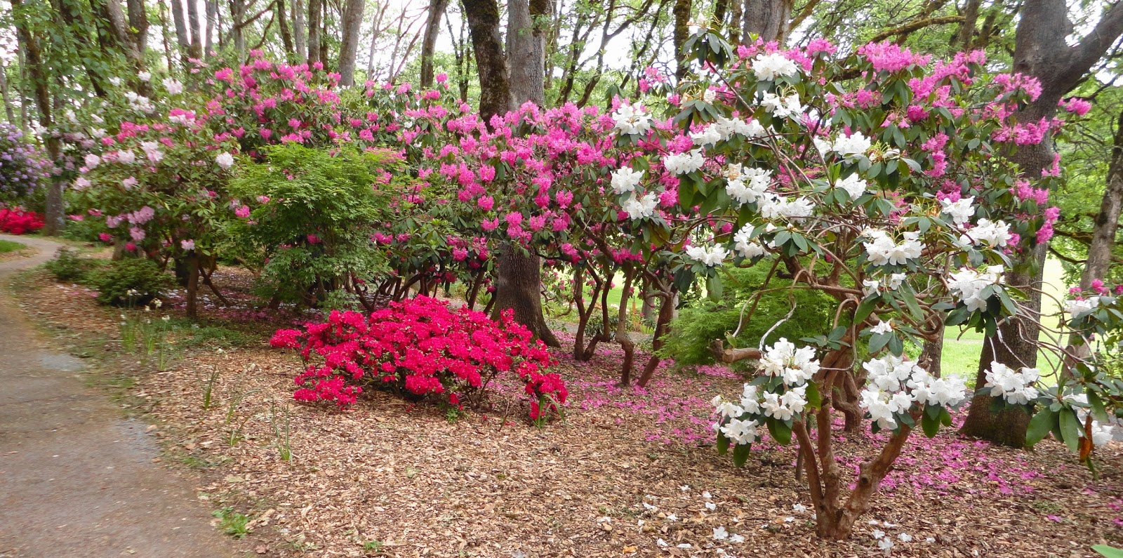 American Rhododendron Society Willamette Chapter
